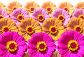 Zinnia Flowers Royalty Free Stock Photos - 7318468