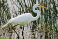 Snowy Egret Royalty Free Stock Images - 7319489