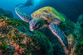 Green Turtle Stock Photography - 73101482