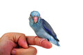 Cute Baby Pacific Parrotlet, Forpus Coelestis, Perched Against Stock Images - 73174054