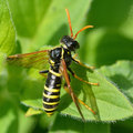 Figwort Sawfly (Tenthredo Scrophulariae) Royalty Free Stock Images - 73191319