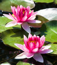 Beautiful Pink Water Lily Royalty Free Stock Images - 7328319