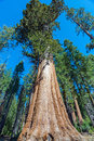 Sequoia Tree In Sequoia National Park, California Stock Photography - 73219872