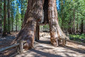 Tunnel Through A Giant Sequoia Tree, Sequoia National Forest Stock Photo - 73220150