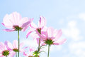 Cosmos Pink Flowers Stock Photography - 73235472