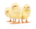 Three Small Yellow Chickens Isolated On White Background Stock Image - 73241571