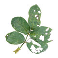 Damaged Rose Leaves From Worm And Caterpillar Royalty Free Stock Photos - 73252188