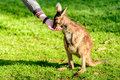 Feeding Kangaroo From Hand Royalty Free Stock Photo - 73254955