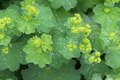 Lady S Mantle Leaves And Yellow Flower Buds With Drops Of Water Stock Photos - 73270993