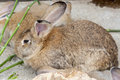 Brown Hare Stock Images - 73378874