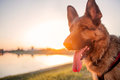 Head Of Beautiful German Shepherd In Susnset Royalty Free Stock Photo - 73437855