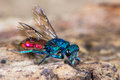 Ruby-tailed Wasp (Chrysis Sp.) Royalty Free Stock Images - 73440489