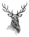 Sketch Of Deer Stock Image - 73448021