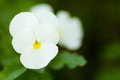 A White Pansy Royalty Free Stock Images - 73463099
