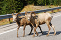 Big Horn Sheep Crossing Road Royalty Free Stock Photos - 7356128