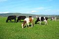 Cows Grazing On A Green Meadow Stock Photo - 73523720