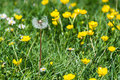 Dried Dandelion With Yellow Wildflowers Royalty Free Stock Images - 73529899