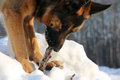 German Shepherd Dog On Snow Stock Photos - 73531323