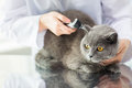 Close Up Of Vet With Otoscope And Cat At Clinic Royalty Free Stock Photos - 73549448