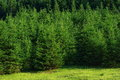 Pine Tree Forest Stock Photo - 73556290
