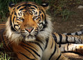 Tiger Royalty Free Stock Photo - 73561575