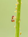 Ant And Aphid On Plants Stock Images - 73570964