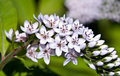 Gooseneck Loosestrife Flower Royalty Free Stock Image - 7366506