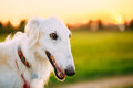 White Russian Dog, Borzoi, Hunting Dog In Summer Sunset Sunrise Royalty Free Stock Images - 73607909
