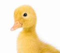 Cute Little Duckling Royalty Free Stock Photography - 73612317