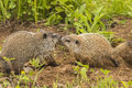 Woodchuck Kiss Royalty Free Stock Images - 73614029