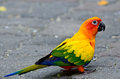 Sun Parakeet Or Sun Conure (Aratinga Solstitialis) The Lovely Ye Stock Photo - 73616860