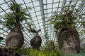 Three Boab Trees On Display In The Magnificent Atrium Display At The Gardens By The Bay In Singapore. Royalty Free Stock Photo - 73640105