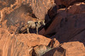 Desert Bighorn Sheep Ram Royalty Free Stock Photo - 73656845
