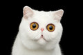 Close-up Surprised Pure White Exotic Cat Head Isolated Black Background Royalty Free Stock Photo - 73674555