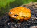 Sambava Tomato Frog (Dyscophus Guineti) Stock Photo - 73698670