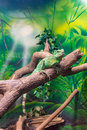 Chinese Water Dragon (Physignathus Cocincinus) On A Branch Stock Photography - 73745392