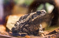Giant Cururu Toad (rhinella Jimi) Sits Quietly Royalty Free Stock Photography - 73746087