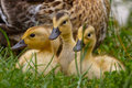 Duck With Chicks Stock Image - 73777051