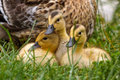 Duck With Chicks Royalty Free Stock Photo - 73777485