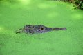 Alligator In Pond Scum Royalty Free Stock Photography - 73784577