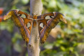Giant Atlas Moth Stock Image - 73789781