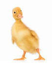 Cute Little Duckling Stock Photography - 73827792