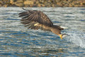 White-tailed Eagle Hunting Royalty Free Stock Photography - 73854837