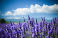 Lavender Field On A Background Of Mountains In Provence, France Royalty Free Stock Images - 73879759