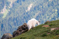 Male Billy Mountain Goat In Olympic National Park In The State Of Washington Royalty Free Stock Photos - 73892798