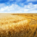 Grain Field In Summer Day Royalty Free Stock Images - 73895349