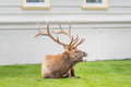 Elk Calling For Cow In Village Of Mammoth Hot Springs Royalty Free Stock Photo - 73917055