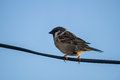 House Sparrow On A Wire. Stock Photo - 73927570