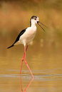 Stilt In A Pond Looking For Food Stock Image - 73954681