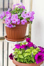 Pink New Guinea Hybrid Impatiens Flowers And Petunia Flowers Stock Photo - 73972350